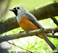 Black-faced Monarch - Monarcha melanopsis