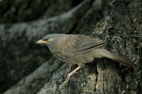Jungle Babbler - Turdoides striatus