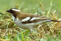 White-browed Sparrow-Weaver - Plocepasser mahali
