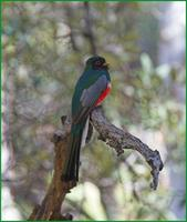 Elegant Trogon at the South Fork of Cave Creek