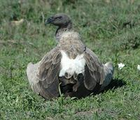 African White-backed Vulture p.54