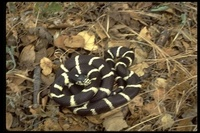 : Lampropeltis getulus californiae; California Kingsnake
