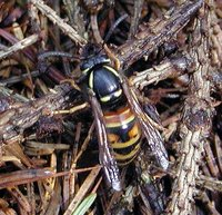 Vespula rufa - Red wasp