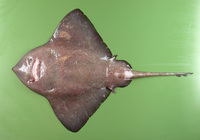 Bathyraja richardsoni, Richardson's ray: