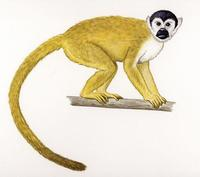 Image of: Saimiri oerstedii (Central American squirrel monkey)