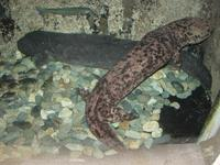 Andrias japonicus - Japanese Giant Salamander