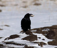 Image of: Corvus corone (carrion crow)