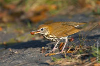Image of: Hylocichla mustelina (wood thrush)