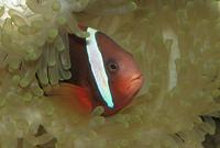 Amphiprion melanopus - cinnamon clown