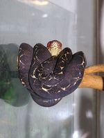 Corallus hortulanus - Amazon Tree Boa