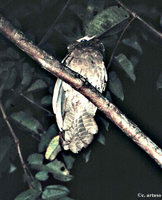 Large Frogmouth - Batrachostomus auritus