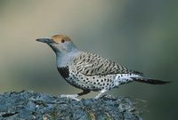 Gilded Flicker (Colaptes chrysoides) photo