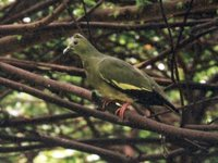 Large Green-Pigeon - Treron capellei