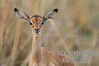 young impala portrait stock photo