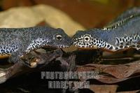 Alpine newt ( Triturus alpestris ) underwater , male and female stock photo