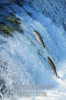 ...Blueback salmons ( Oncorhynchus nerka ) trying to conquer the waterfall upwards , Brooks River ,