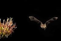 Cave Myotis ( Myotis velifer ) Flying near agave plant ( Agave sp . ) Amado , Arizona , United S...