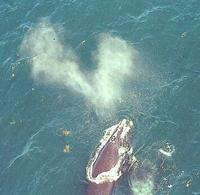aerial view of right whale with a v-shaped blow
