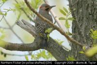 Northern Flicker (male - yellow-shafted) - Ohio
