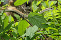 : Dispholidus typus; Boomslang