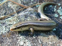 : Eumeces multivirgatus; Many-lined Skink