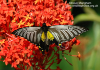 : Troides helena; Common Birdwing Butterfly