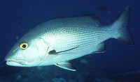 Lutjanus bohar, Two-spot red snapper: fisheries, gamefish