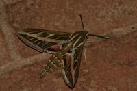 Hyles livornica - White-lined Hawk-moth