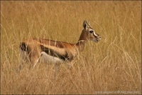 Gazella thomsonii - Thompson's Gazelle