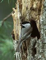 Carolina Chickadee (Poecile carolinensis) photo