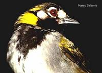 White-eared Ground-Sparrow, Melozone leucotis