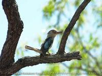 Blue-winged Kookaburra 2