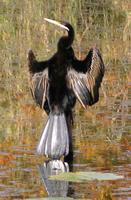 ...Australian darter, Anhinga melanogaster, Cooroy, Queensland, 1 June  2006. Photo © Barrie Jamies