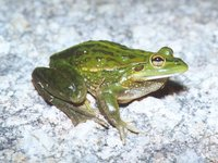 : Litoria raniformis; Growling Grass Frog