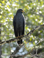 Photo of káně mangrovová Buteogallus subtilis Mangrove Black Hawk
