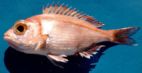 Dentex macrophthalmus, Large-eye dentex: fisheries, gamefish