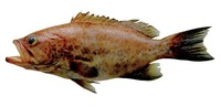 Mycteroperca cidi, Venezuelan grouper: fisheries