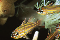 Apogon cyanosoma, Yellowstriped cardinalfish: aquarium