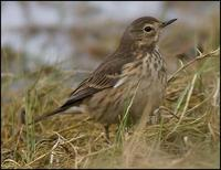 Image of: Anthus rubescens (American pipit)