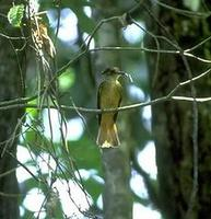 Image of: Onychorhynchus coronatus (royal flycatcher)