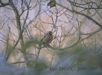 Long-tailed Rosefinch - Uragus sibiricus