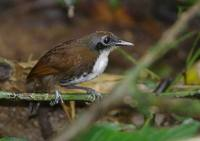 Bicolored Antbird (Gymnopithys leucaspis) photo