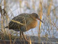 Clapper Rail (Rallus longirostris) photo