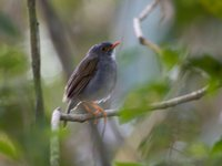 Orange-billed Nightingale-Thrush - Catharus aurantiirostris