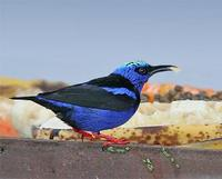 * Red Legged Honeycreeper