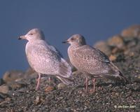 Nelson's Gull (Herring x Glaucous hybrid) at Modesto STP © 2000 Jim Gain