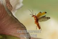 Red soldier beetle ( Rhagonycha fulva ) stock photo