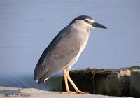 Black-Crowned Night Heron Nycticorax nycticorax 해오라기