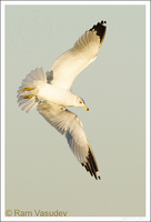 : Larus delawarensis; Ring-billed Gull