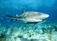 : Negaprion brevirostris; Lemon Shark